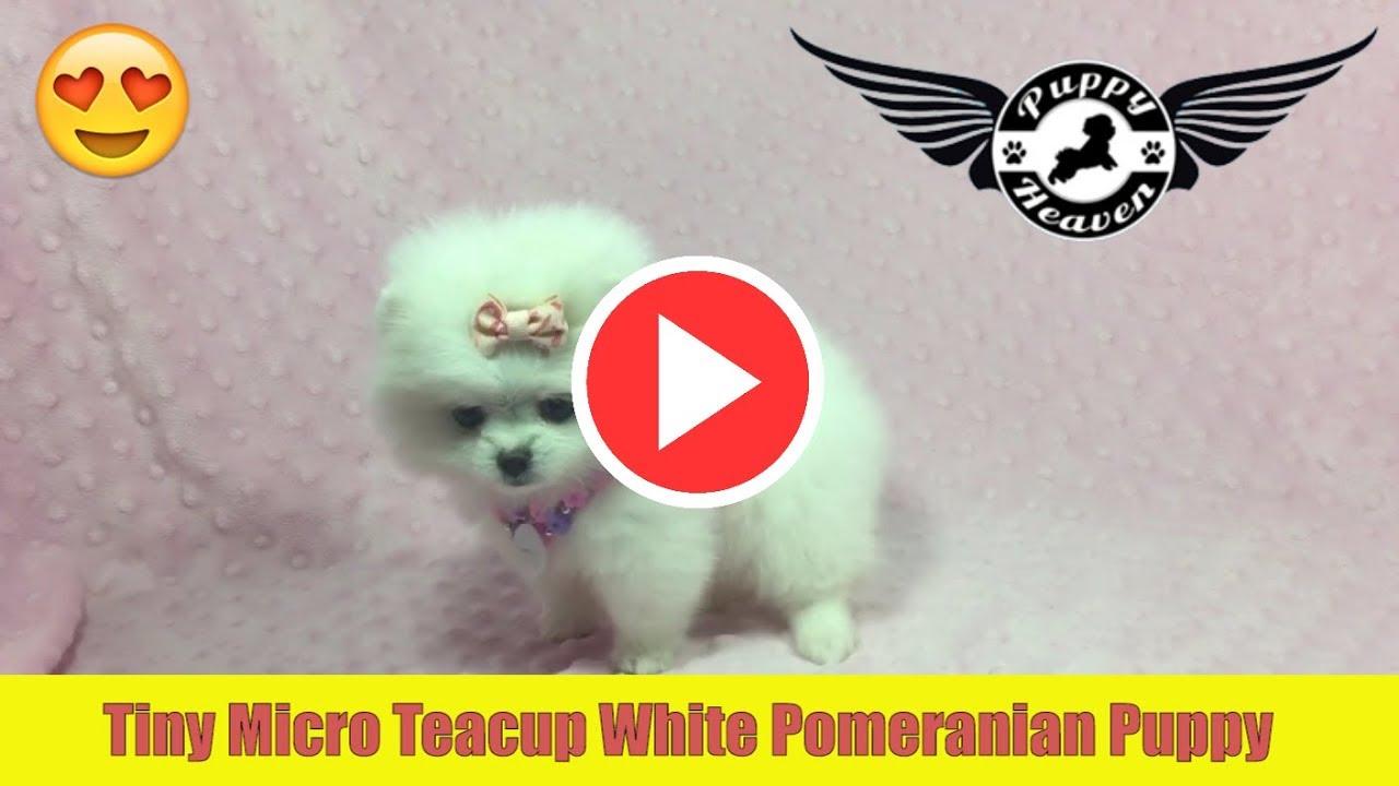 Micro teacup white pomeranian