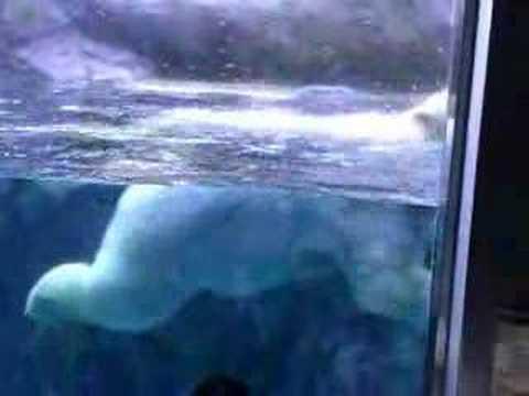 旭山動物園の白クマー