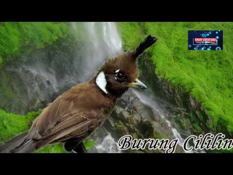 Suara Gemerincik Air dan Suara Burung Cililin