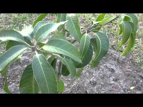 Tropical Fruit Trees - Nam Doc Mai Mango Tree - Part 1