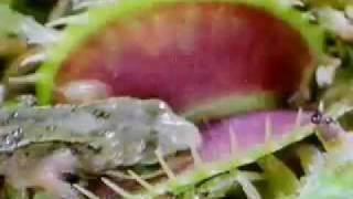 Planta carnivora devora un rana