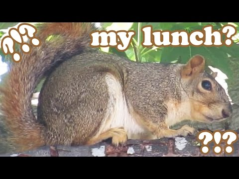 Ground Squirrel In The Wild - Grey Gray Squirrels Animal Videos - Wildlife Funny Animals - Jazevox