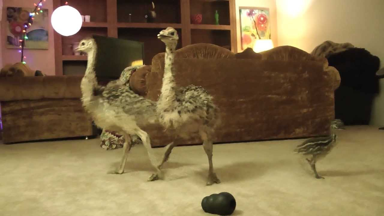 Baby Ostrich Dance Party Youtube