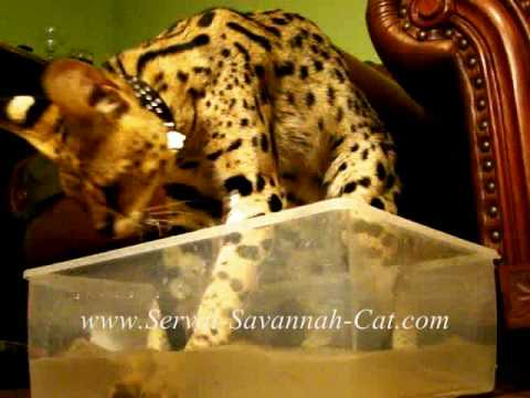 Legend Exotic Savannah Cats , Serval Cat fishing African serval