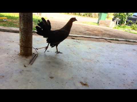 Pikat Betina Ayam Hutan - Warisan video