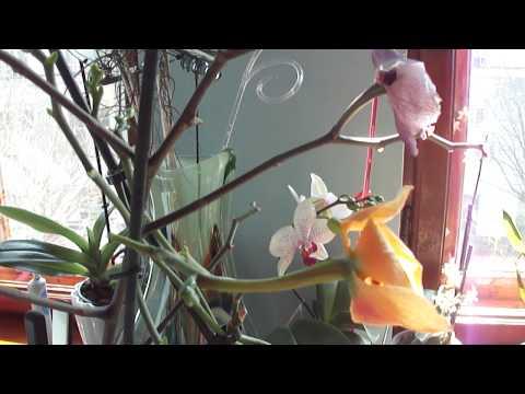 Как определить, что семенная коробочка орхидеи созрела.