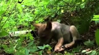 Волчий закон 2008   Мир Животных   Документальные фильмы   Документальные фильмы смотреть онлайн бес