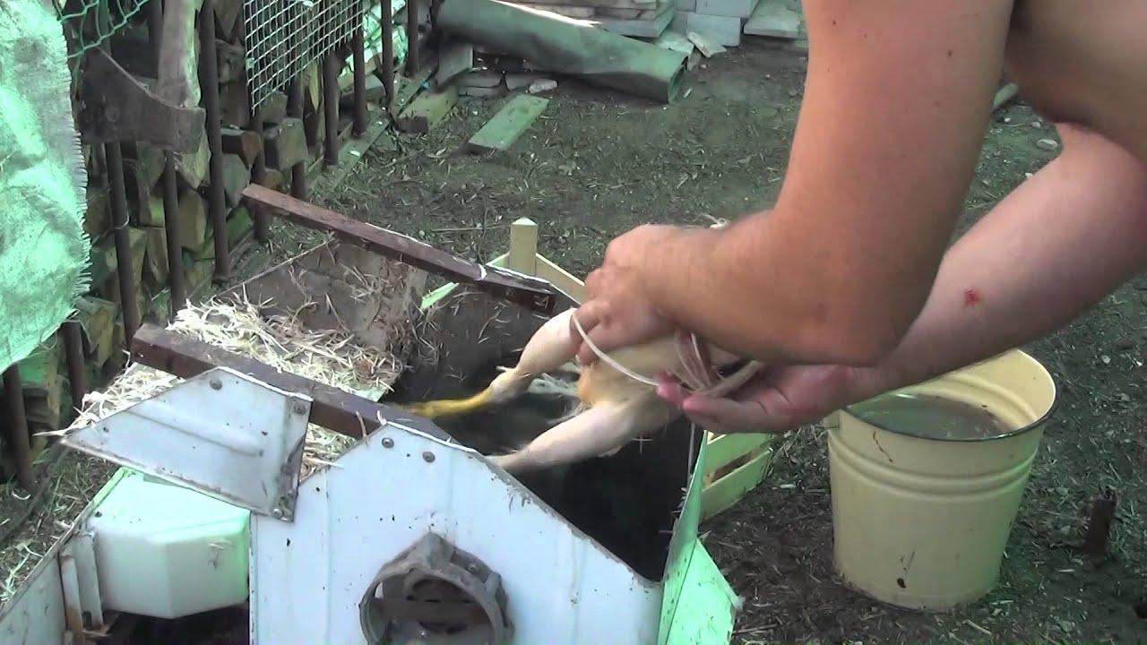 Как правильно ощипывать кур в домашних условиях