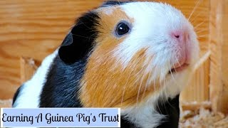 How to Make Your Guinea Pigs Trust You