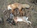 Моё открытие охоты на зайца 2017 / отличная охота