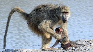Baboons Crossing the Sabi River