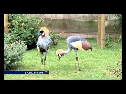 Blue, Crowned cranes under threat