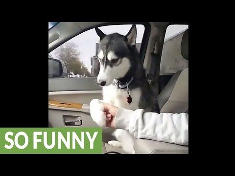 運転中のご主人にお腹を触ってと要求するハスキー犬