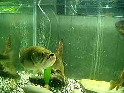 largemouth bass eating - photo #43