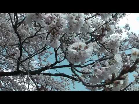 本巣市 「レシップの桜」