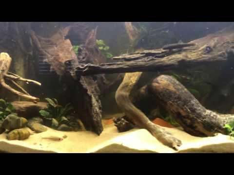 Fish Tank Westafrica alesteopetersius anomalochromis pelvicachromis aquarium 300 liter