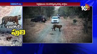కవ్వాల్ లో పెద్దపులుల కలకలం.| Special Story On Larger Tigers Hulchal In Kawal Reserve Forest