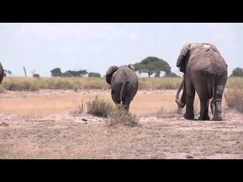 Elephant mating season in Amboseli, Kenya