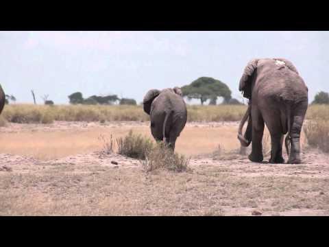 Elephant mating season in Amboseli, Kenya