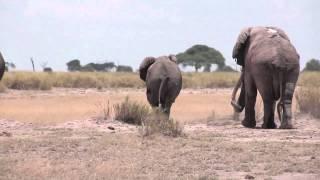 download lagu Elephant Mating Season In Amboseli, Kenya gratis