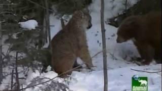 Cougar versus Bear