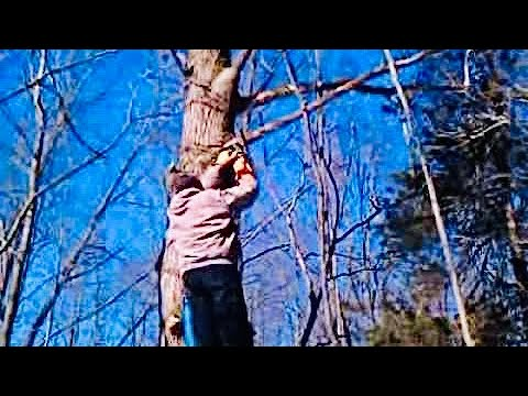 Cutting Dead dry Limbs Off Oak Tree Using Ladder And Stihl Chainsaw video