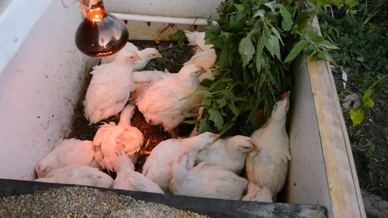 Уход и выращивание бройлерных цыплят 18