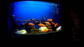 Интерактивный аквариумный туризм Сезон 2 Выпуск 31(Малавийцы с корягами)