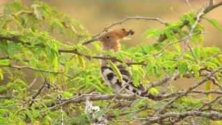 Kara Sun , birding in India; part 3 : Grasslands of Kutch