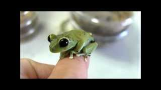 Cameroon Big Eyed Tree Frogs