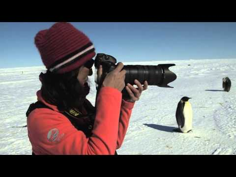 Emperor Penguins in HD