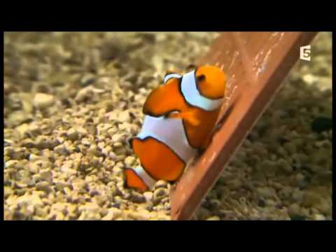 Poisson videolike for Poisson clown achat