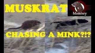 Muskrat Chasing a Mink?!?!?