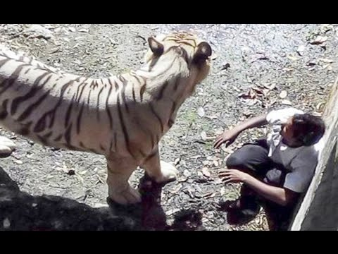 White Tiger Attack Student