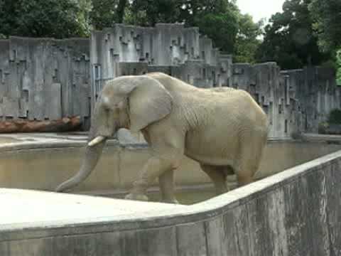 アフリカゾウのえさ探し @東山動物園
