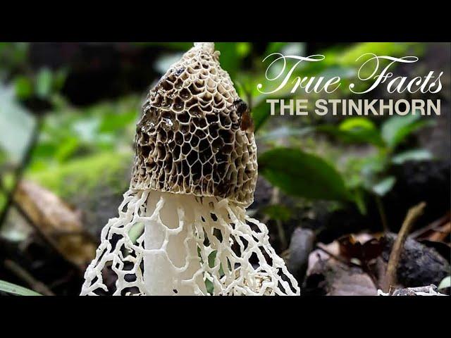 True Facts: Stinkhorns thumbnail