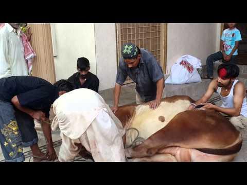 Ahsan sheikh cow qurbani video lahore 2014