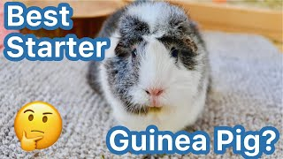 Best Beginner Guinea Pig?