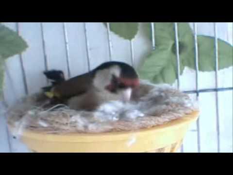 Successful european goldfinch breeding 2011