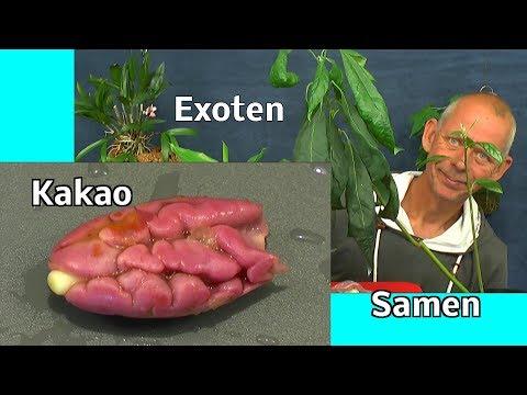 Kakao Samen einpflanzen Exoten im Haus