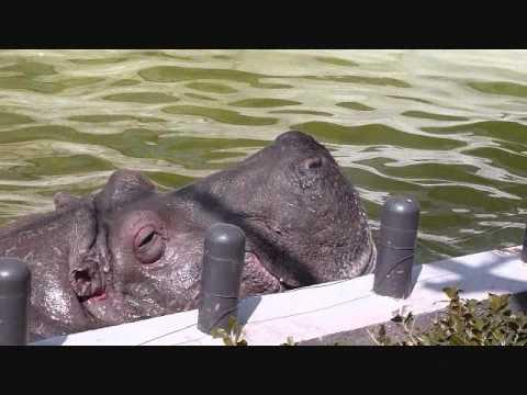 上野動物園カバ_怪我したサツキへのやさしさ