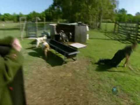 Mythbusters: Kari strips to try to make goats faint Video