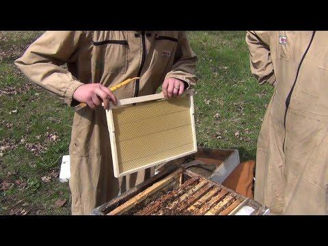 БАКФАСТ и КАРНИКА весенние расширение пчелосемей вощиной