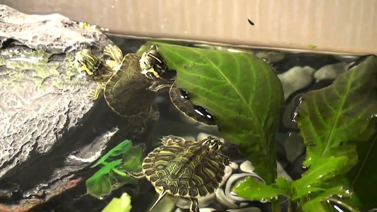 Le mie tartarughe d 39 acqua dolce youtube for Alimentazione tartarughe acqua dolce