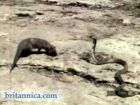 Mongoose Attacking an Asian Cobra Video