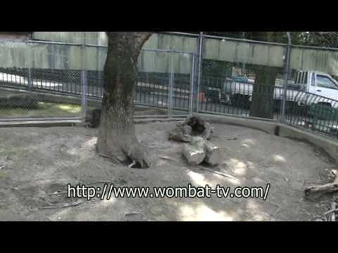 走るウォンバット@五月山動物園 by wombat-tv