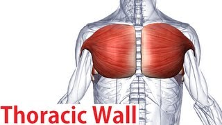 Muscles of the Thoracic Wall - Chest Muscles Anatomy