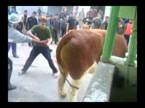 a calf fights for his life عجل يقاتل بشدة عند ذبحه.m4v