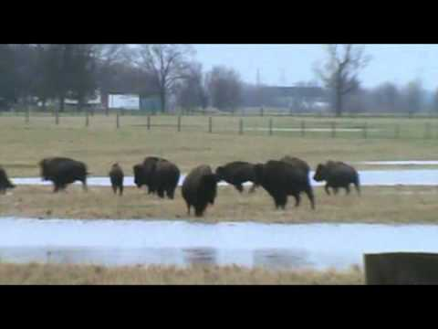 Fermilab Bison play in deep water.