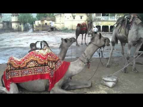 Camels of JAL MAHAL Jaipur Rajasthan